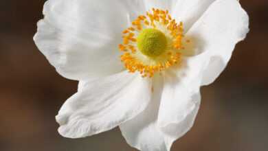 Photo of Anemone hupehensis var. Japonica Anemone del Giappone