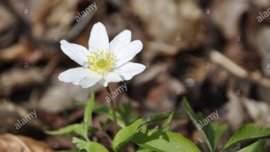 Photo of Anemone selvatico, Anemone di legno