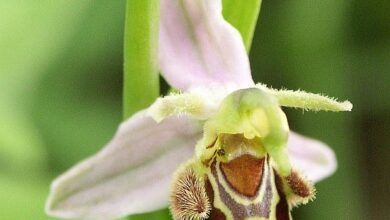 Photo of Ape Orchidea, Ape Ophrys