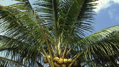 Photo of Arecaceae