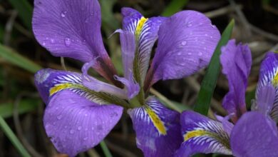 Photo of Argel Iris, Iris de invierno