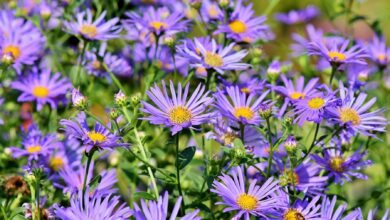 Photo of Aster Aster