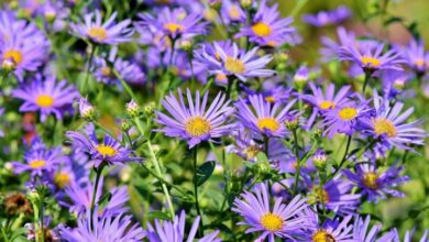 Photo of Aster divaricatus Aster divaricatus, Aster che si estende