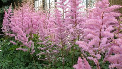Photo of Astilbe