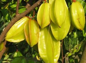 Photo of Averrhoa Carambolier Carambola