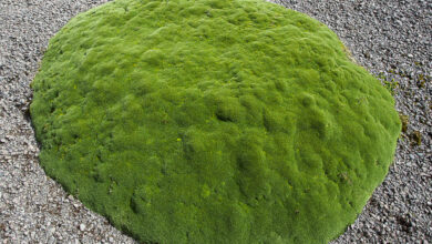 Photo of Azorella, coussin ein