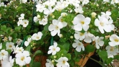 Photo of Balcon Bacopa cordata sutera, Bacopa ornemental