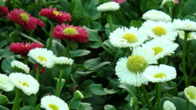Photo of Bellis perennis Marguerite, Poinsettia