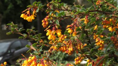 Photo of Berberis darwinii Darwinii Darwins vinette thornbush