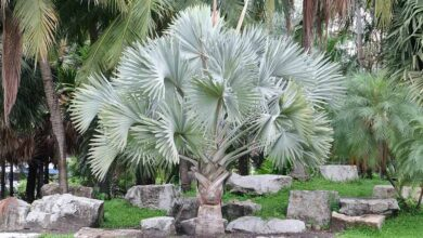 Photo of Bismarckia nobilis Bismarck Palm