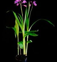 Photo of Bletilla striata Orchidea giacinto