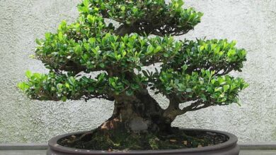 Photo of Bonsai Care – come prendersi cura del proprio bonsai