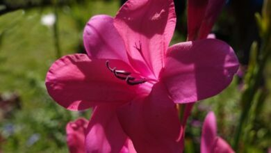 Photo of Bourbon Watsonia Rose Watsonia, Bourbon Watsonia