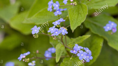 Photo of Brunnera macrophylla Dimenticami, Bugloss siberiano