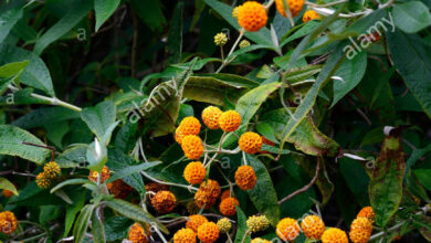 Photo of Buddleia globosa, albero a farfalla globulare, Matico