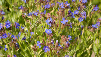 Photo of Bugloss italia, Bugloss azurea