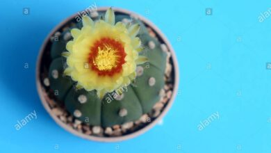 Photo of Cactus di riccio di mare, dollaro di sabbia