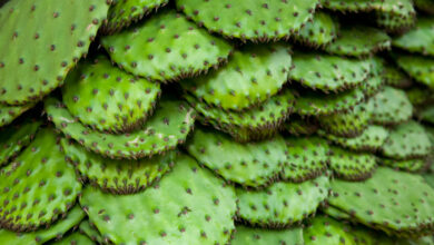 Photo of Cactus marinato