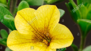 Photo of Calibrachoa ibrido