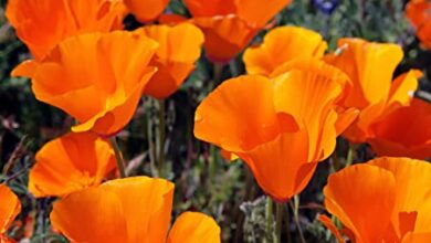 Photo of California Poppy