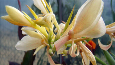 Photo of Canna bianca