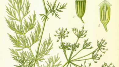 Photo of Carum carvi, piante aromatiche e medicinali