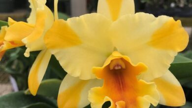 Photo of Cattleya, May Lily ou Yellow Orchid Plant Care