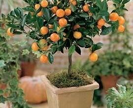 Photo of Citrus mitis Calamondin, Appartamento Orange