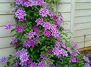 Photo of Clematis