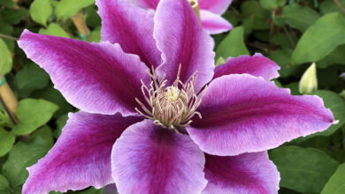 Photo of Clematis Dottor Ruppel.