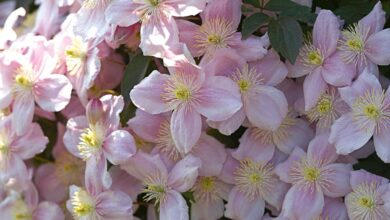 Photo of Clematis montana