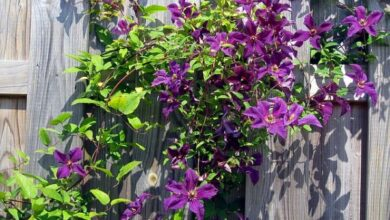 Photo of Clematis o cura delle piante Clematis