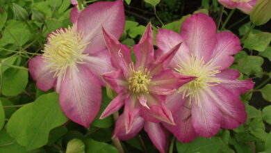 Photo of Clematis patens Asao Clematite Asao