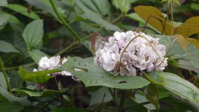 Photo of Clerodendron de Chine
