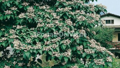 Photo of Clerodendrum trichotomum Albero del clero, Clerodendron
