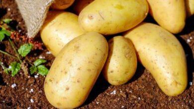 Photo of Coltivazione delle patate: una guida per principianti alla coltivazione di patate grandi e sane