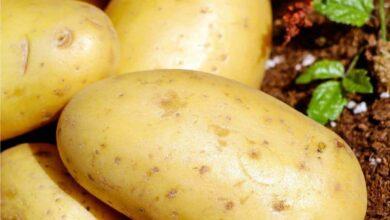 Photo of Coltivazione di patate dolci: varietà, guida alla semina, cura, problemi e raccolta