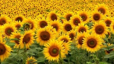 Photo of Come coltivare i girasoli