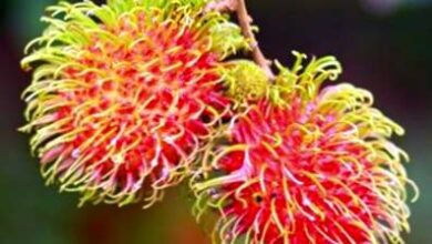 Photo of Come piantare il rambutan in giardino?