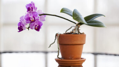 Photo of Come prendersi cura di un'orchidea a casa