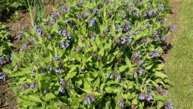 Photo of Comfrey caucasico