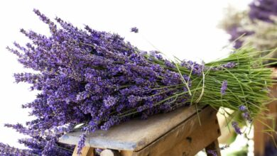 Photo of Consigli per seminare la lavanda in modo efficace