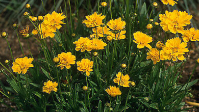 Photo of Coreopsis