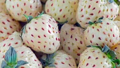 Photo of Cos'è il pineberry e cosa fa?