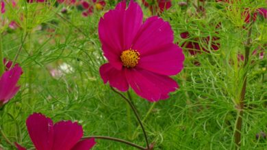 Photo of Cosmos bipinnato, Cosmos annuel