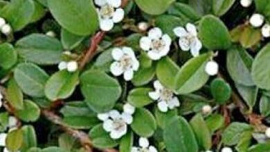 Photo of Cotoneaster dammeri Cotoneaster de Dammer