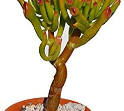 Photo of Crassula