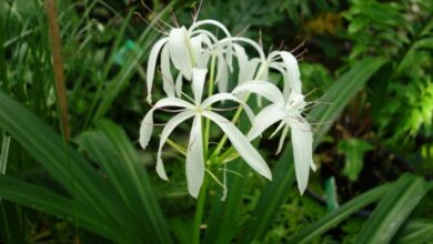 Photo of Crinum asiaticum Crinum asiatique, Grand crinum, Giglio Crinum