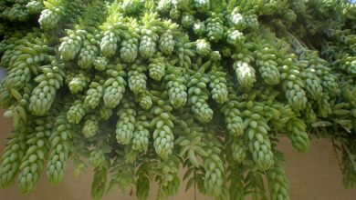 Photo of Cuidados de la planta Sedum morganianum o Burrito