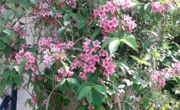 Photo of Cuidados de la planta Weigela florida, Veigelia o Veigela
